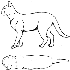 Drawing of an ideal condition cat, description to follow