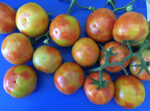 Green and red marbling on mature tomatoes