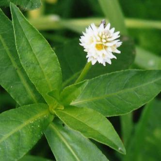 White ball-shaped flower