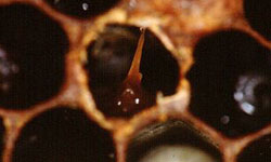 Cell with infected pupae showing a 'tongue' that has formed