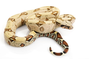 Creamy coloured snake curled up with more prominent brown markings on tail
