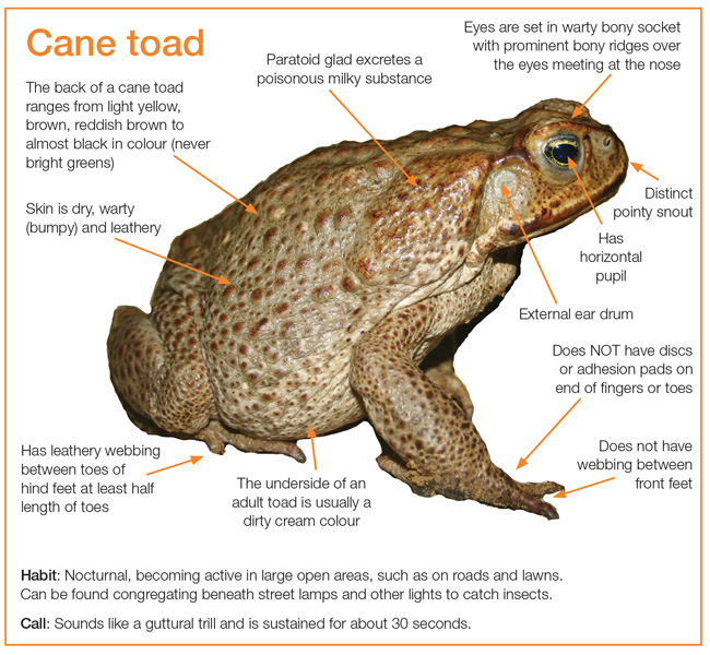 Diagram showing characteristics of the cane toad as described in the text to follow