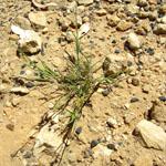 Spiny burr grass plant