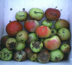 Apples with scab of varying severity