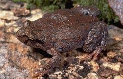 Very bumpy dark brown frog
