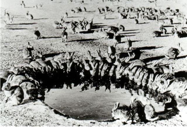 Black and white photo, 50 rabbits sitting around edge of dam drinking, rabbits scattered around paddock in background
