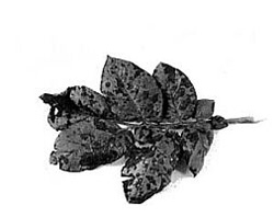 Leaves showing black spots