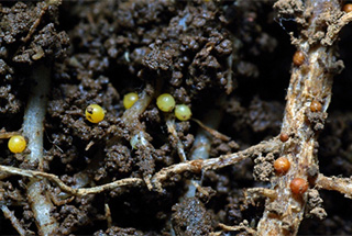 Immature yellow PCN cysts and some darker orange, mature cysts in soil