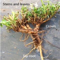Lucerne plant consists of tap root, crown, stem and leaves