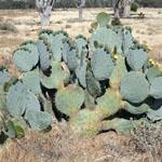 Whole Wheel cactus plant