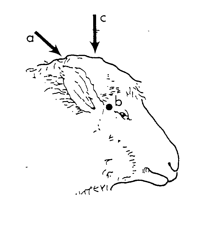 Diagram of sheep head without horns showing the 3 correct angles for humane destruction of hornless sheep and rams