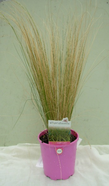 Mexican feather grass in a growing pot mislabelled and displayed for sale