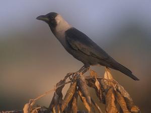 Slender shiny black bird with white/grey section around neck