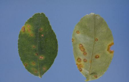 Lime leaves with brown spots that have yellow halos