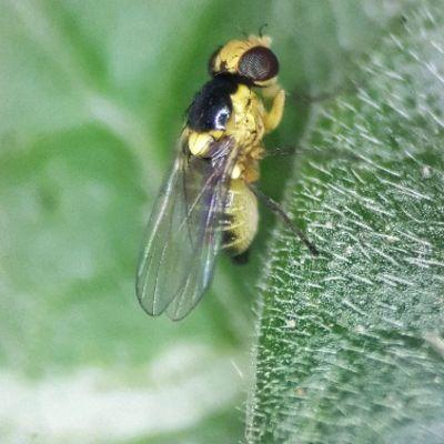 Adult leafminer on leaf