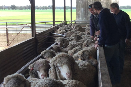 Farmers learning to condition score ewes