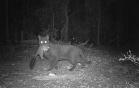 Feral cat at night with prey in mouth