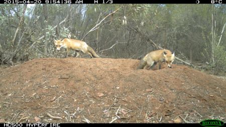 2 red foxes on mound of dirt