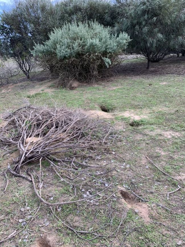 Dry paddock. Four rabbit burrows in foreground. Green trees in background