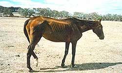 Figure 2. A horse in very poor condition. Note prominence of spine pelvis and ribs, lack of muscling and tightness of skin over bones.