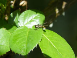 Yellow and black striped hover fly on a green rose leaf