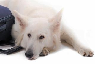 Dog lying against suitcase