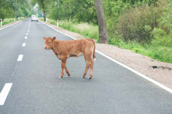 Calf standing on the road with car in background