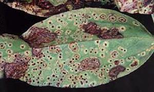 Leaf covered in orange-brown pustules