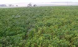 Photo of a lupin crop with many yellowing plants