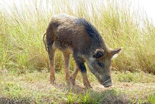Feral pig feeding on grass