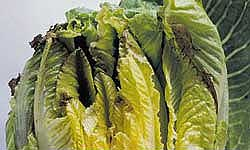 Cos lettuce hearts with darkened and wilting tips
