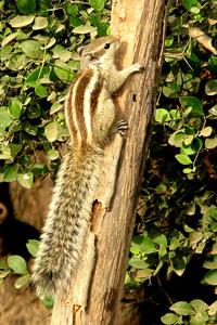 Bushy tailed squirrel climbing tree