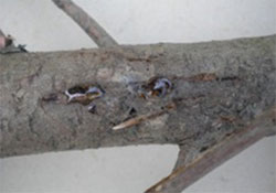 Branch with cypress cankers and resin