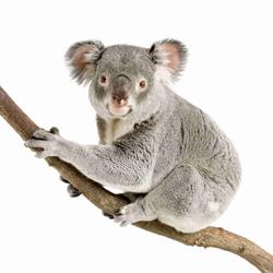 Koala sitting branch