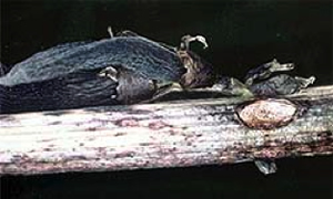Stem cankers caused by ascochyta on faba bean