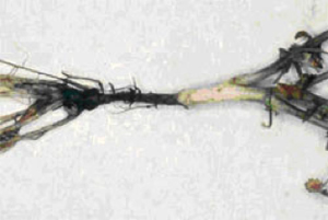 Photo of chickpea plant with black lesions at the base of the stem
