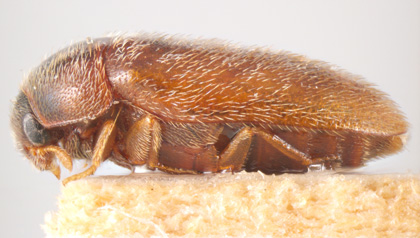Close up Khapra beetle side profile as described in previous text