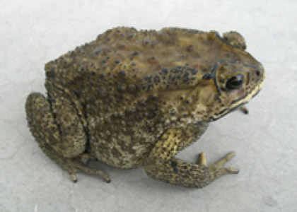 Asian black-spined toad with black knobbled skin markings