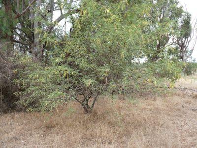 Fully grown mesquite