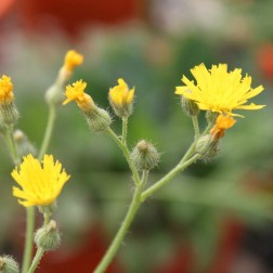Cluster of yellow king devil hawkweed flowers with square-ended petals