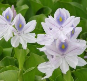 Flowers of water hyacinth