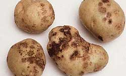 Potatoes with dark, rough scabs and lesions of varying depths