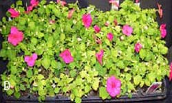 Yellowing, stunting and premature leaf fall on a tray of bedding impatiens