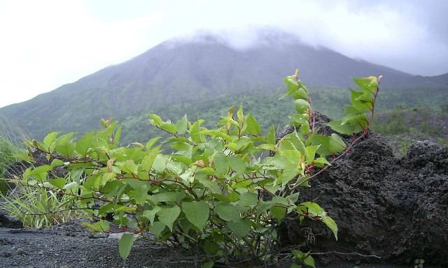 Knotweed growing over volcanic rock