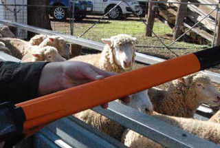 Tagged sheep being electronically scanned as they walk past a farmer with a tag reader