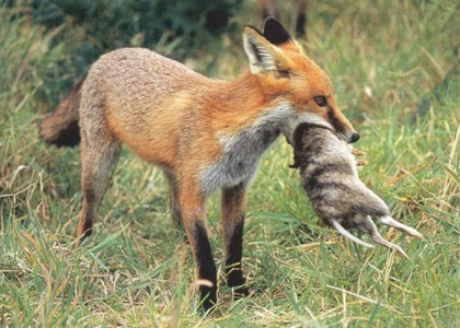 Red fox in a field with native wildlife in it's mouth