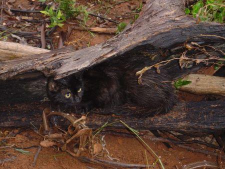 Black feral cat hiding under tree trunk
