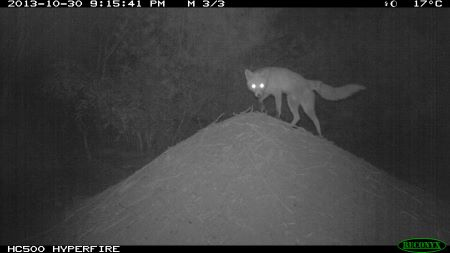 Fox on a hill at night