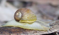 Adult green snail
