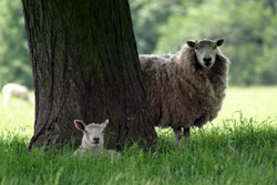 A ewe and its lamb under a tree in a grassy field